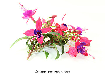 Fuchsia - pink fuchsia flowers in front of white background
