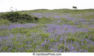 Bluebells in a field in springtime