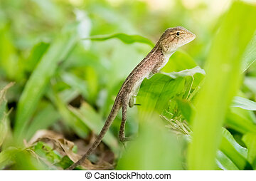 Changeable Lizard - The Oriental Garden Lizard, Eastern...