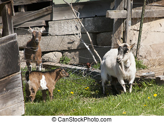 Goats in the grass. - Goats in the grassy barnyard near...