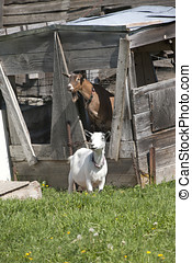Couple of goats - A couple of Boer goats near Hayden, Idaho...