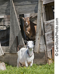 Two goats - A couple of Boer goats near Hayden, Idaho One in...