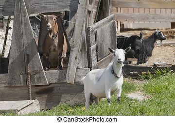 Two goats posing - A couple of Boer goats near Hayden, Idaho...