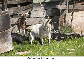Rubbing against a fence. - An old goat rubs its backside up...