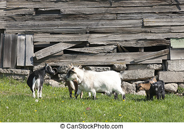 One goat in the way. - Several goats stand in the grass in...