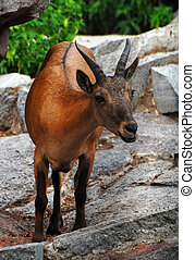 antelope - Cloven-hoofed animal, a resident of the zoo Very...