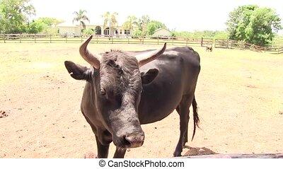 bull portraits