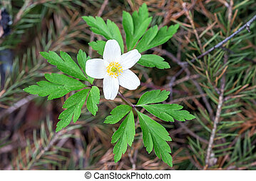Anemone nemorosa closeup in the woods - Anemone nemorosa -...