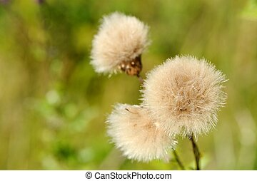 Coltsfoot Tussilago Farfara Flowers - A close-up of fluffy...