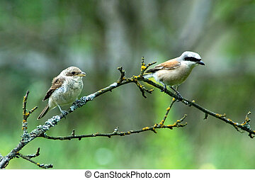 Red-Backed Shrike - Adult Red-backed Shrike male and young...