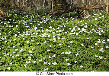 Spring anemone floral bed, decidous forest, Europe,Poland,...