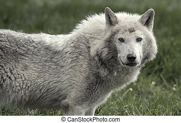 Timber wolf staring directly at the camera.