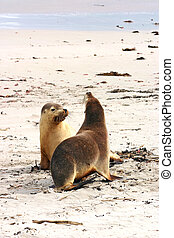 Pair of Australian sea lions Neophoca cinerea on the beach...