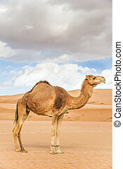 Camel in Wahiba Oman - Image of camel in desert Wahiba Oman