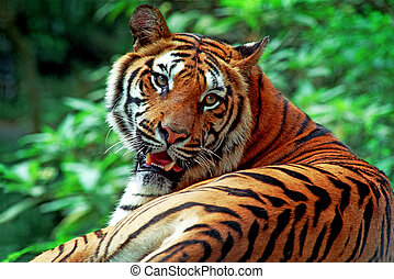 Tiger - Portrait of an adult tiger with frightening eyes