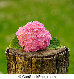 Pink Hydrangea Flowers on Tree Stump - Beautiful pink...