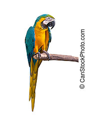 Parrot macaw isolate on white background