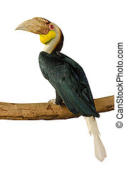 close up Great hornbill isolate on white background
