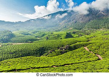 Green tea plantations in Munnar, Kerala, India - Kerala...