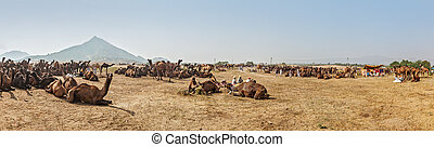Camels at Pushkar Mela (Pushkar Camel Fair), India -...