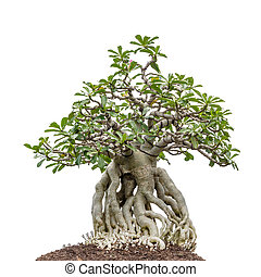 bonsai tree on white - bonsai tree isolated on white...