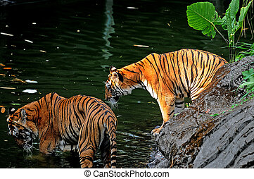 Tiger - Two tigers on the lake at Safari Park in Pasuruan,...