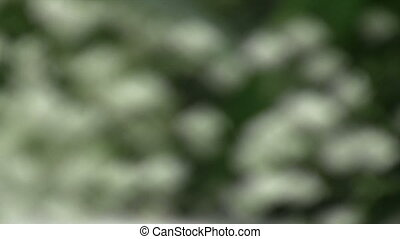 Lilies of the Valley - Zoom Out - Canon HV30. HD 16:9 1920 x...