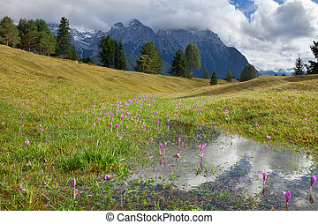 flowering crocus flowers on alpine meadows