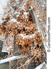 hop on the fence - hop cone under the white fluffy snow on...