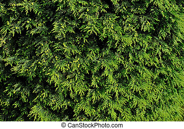 Background of Christmas tree branch