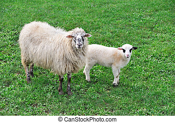 Sheep with lamb on meadow  - Domestic goat on the meadow