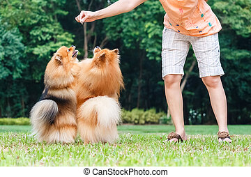 Pomeranian dogs standing on its hind legs to get a treat...