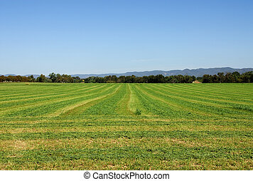 Lucerne Field - Lucerne, cut ready for baling, on a farm...