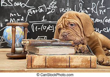 Books and puppy - Puppy of Dogue de Bordeaux (French...