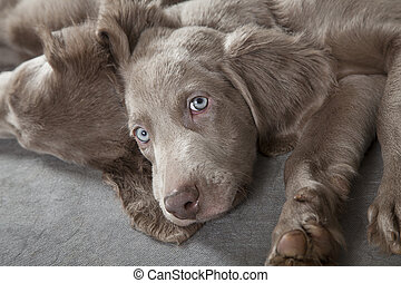 Weimaraner puppies - Three months old Weimaraner puppy...