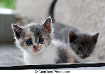 kiten - animal series: grey fluffy small domestic kitten
