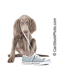 Puppy pulling shoe lace - Weimaraner puppy of 3 months old...