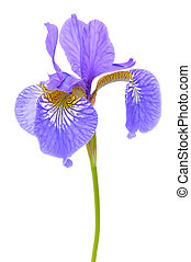 A beautiful purple flag flower (iris) isolated on a white...