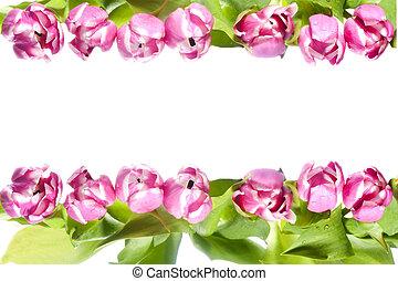 rosa, tulipán