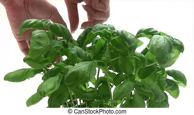 Picking Basil - Canon HV30 HD 16:9 1920 x 1080 2500 fps...