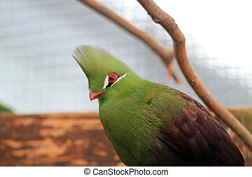 Guinea Turaco Tauraco persa