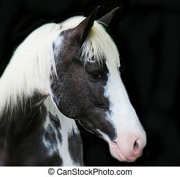 Gray and White Horse on Black - Gray and white roan isolated...