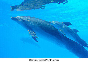 Dolphin mother with her little dolphin swims in the pool. Child is having fun in the water and have fun playing