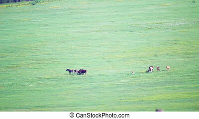 Countryside field grazing horses with heat haze, hot summer