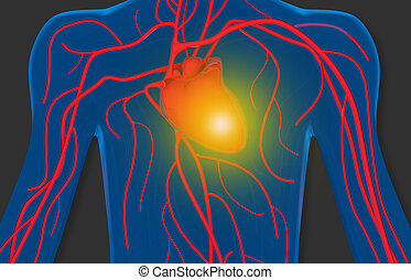 human heart and blood circulation