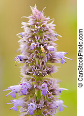 Prunella (Self-Heal) Flower Close-Up - A close-up of a...