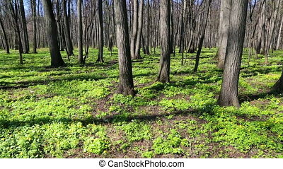 spring wood landscape with white flowers anemones