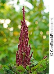 fiore, letto,  (prince's,  amaranth,  feather), crescente