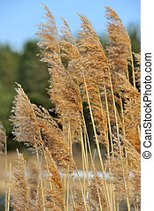 Panicles of Common Reed Phragmites - Panicles of common reed...