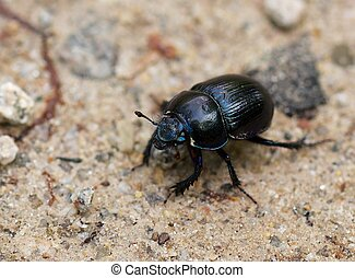 Macro shot of a common dung beetle walking in the sand -...